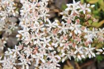 V suťovištích jsou rozsáhlé porosty rozchodníku - živné rostliny pro housenky