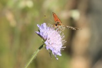 Hnědásek květelový