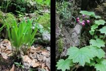 Vzácná flóra: Jelení jazyk a Kruhatka Matthiolova