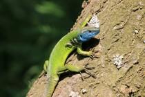 Všudypřítomné ještěrky zelené