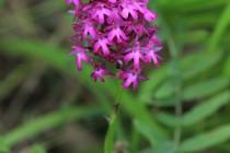 Další vzácné orchideje - rudohlávek jehlancovitý