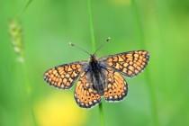 Na loučkách tu létají vzácní motýli - hnědásek chrastavcový