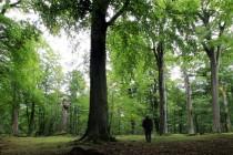 Buky u Vysokého Chvojna  - nejstarší bukové lesy východních Čech