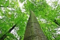 Zdejší stromy rostou do nebe