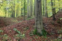 Krkonoše - Bártův les. V 17. století svahy kopce zcela zdevastovány povrchovou těžbou zlata. Les se sem navrátil samovolně.