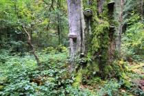 Prastaré stromy jsou i v nedaleké rezervaci U Glorietu