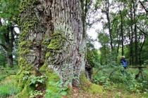 Jeden z nejmohutnějších dubů v Čechách. Obvod kmene deset metrů, stáří kolem 600 let.