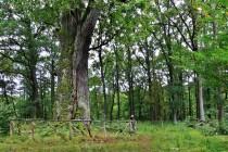 Dub za Velkou Houkvicí. Nejstarší ze zdejších stromů.