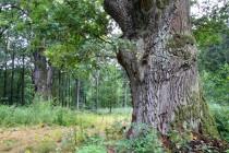 U Houkvice - staleté duby jako pozůstatky po pastevním lese týnišťské obory.