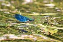 Motýlice obecná - Calopteryx virgo, PR Peklo, 1.6.2018