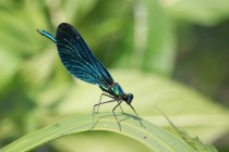 Samečci motýlic strážili svá teritoria z příbřežní vegetace