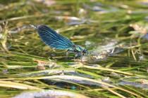Motýlice obecná - Calopteryx virgo, PR Peklo, 1.6.2018 I
