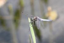Běžná vážka černořitná