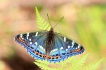 A létali vzácní motýli - bělopásek topolový