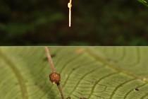 Mravenec zombie a housenice Ophiocordyceps unilateralis