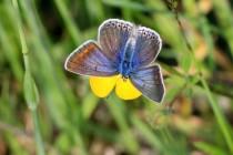 Občas ale mohou mít i samice na hnědých křídlech modrý poprašek. Tato méně obvyklá forma je popisována jako caeruleus