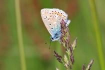 Modrásek jehlicový - Hamernická stráň, Kvasiny