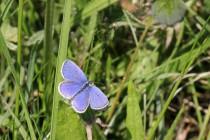 Rovněž modrásek štírovníkový, který v Čechách hodně vymizel, se dnes šíří