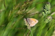 Zdaleka nejhojnější byl okáč poháňkový. Tenhle nenápadný motýl toho vydrží hodně a létá skoro všude...