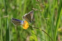 Motýlí námluvy - samice se vyznačují hnědě zabarvenými křídly