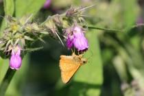 Z motýlů tu poletuje soumračník rezavý