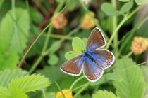 Samice mívají křídla hnědá, u méně běžné formy ceronus s modrým popraškem