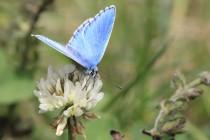 Modrásek jetelový - Kupkův kopec