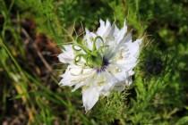 Z polních plevelů lze kromě chrp, čekanky a ostrožky zastihnout i například zdobnou černuchu