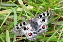 motýli zalétávají i do okolní vegetace