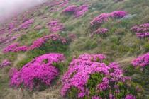 Pěnišník karpatský - Rhododendron kotschyi