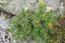 Rozchodnice růžová - Rhodiola Rosea