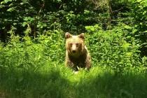 Transfagaras Highway - Bear
